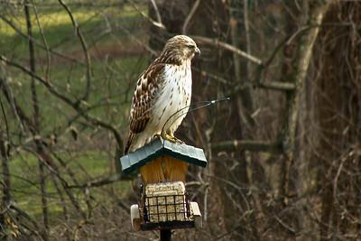 Waiting for Lunch   Same bird feeder; Bel Air, Maryland (Photo courtesy of Karen Evans)