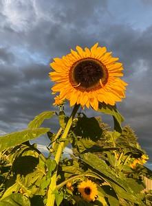 Sunflower at Sunset   Vancouver WA