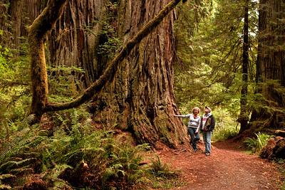A Walk Among Giants   Redwoods of Northern California
