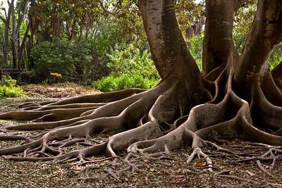 Banyon Trees   Edison Ford Winter Estates; Ft Meyer, Florida