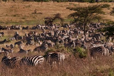 A Dazzle of Zebras | Serengeti National Park; Tanzania