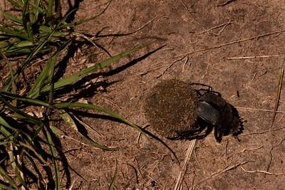 Dung Beetle | Serengeti National Park; Tanzania