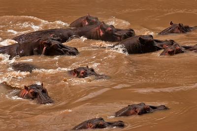 A Bloat of Hippos | Serengeti National Park; Tanzania