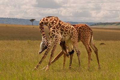 Male Giraffes Fighting | Serengeti National Park; Tanzania