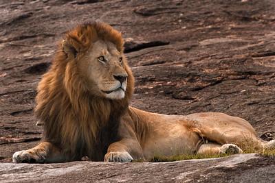 Regal | Serengeti National Park; Tanzania