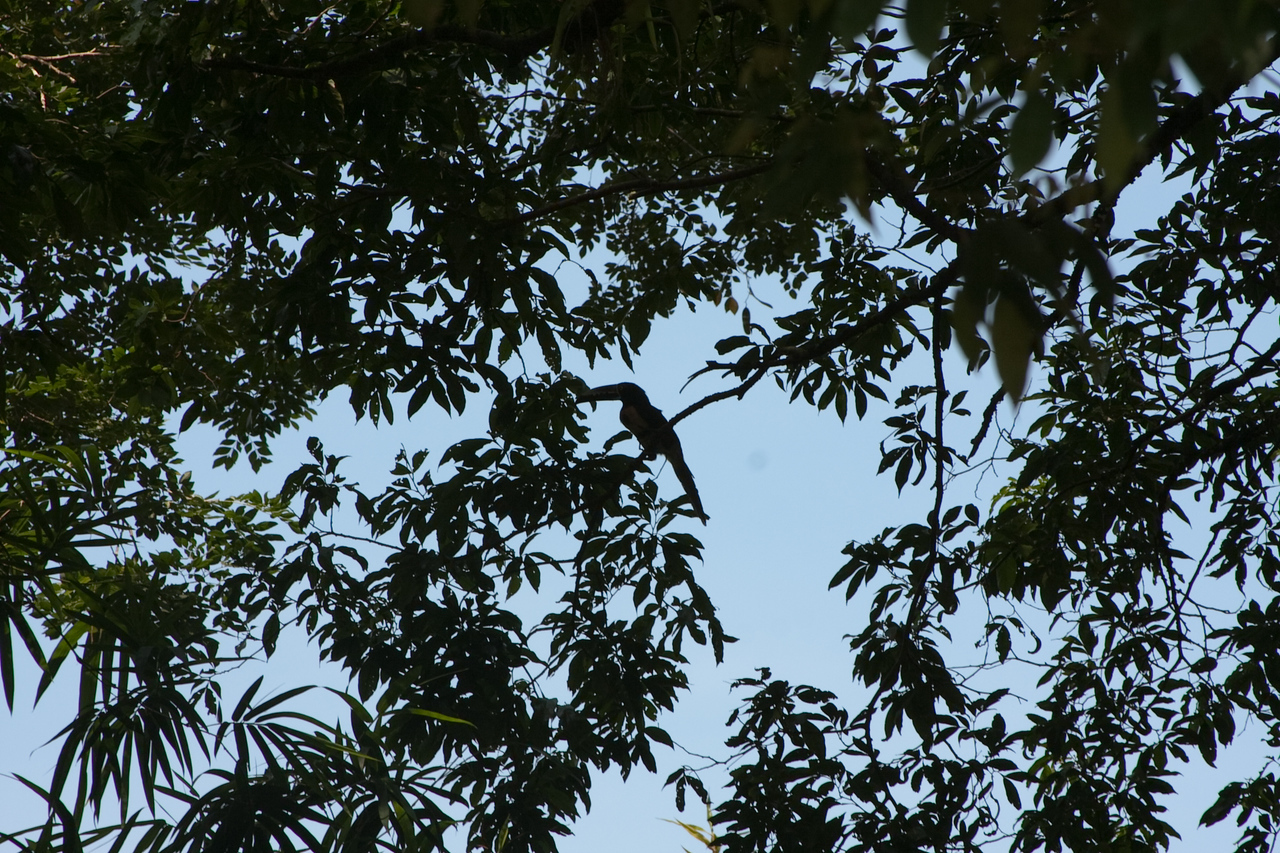 Only shot (silhouette) of a (supposedly common scene) Toucan I could manage (blending among the leaves in the middle of the picture)