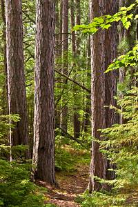 Trail Through Forest 3 | Along shoreline