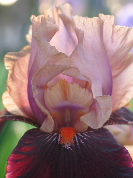 Photo by Nathan Suri Jr. Purple Bearded Iris