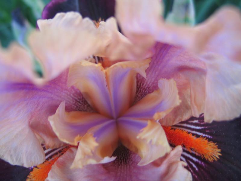 Inside of a Purple Bearded Iris