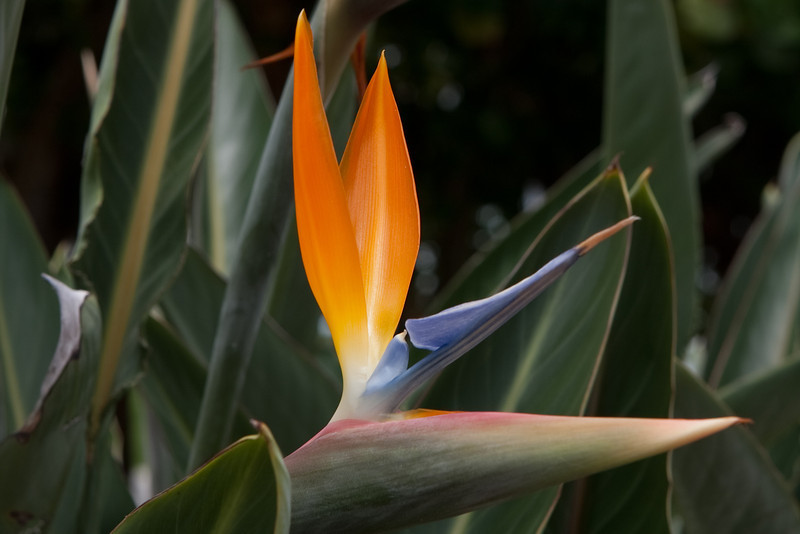 Bird of paradise flower (one of my favorite flowers) in St. Petersburg, FL