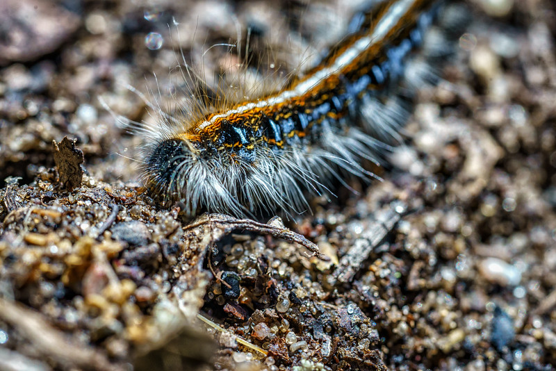 Eastern Tent Caterpillar Moth Larva