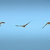 Goose Fly Sequence
