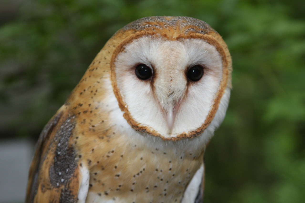 The Barn Owl is one of the most widely distributed birds in the world, found on all continents except Antarctica, and on many oceanic islands as well. It has been introduced by people to some of the few places it did not already occur, namely Hawaii, the Seychelles Islands, and Lord Howe Island.