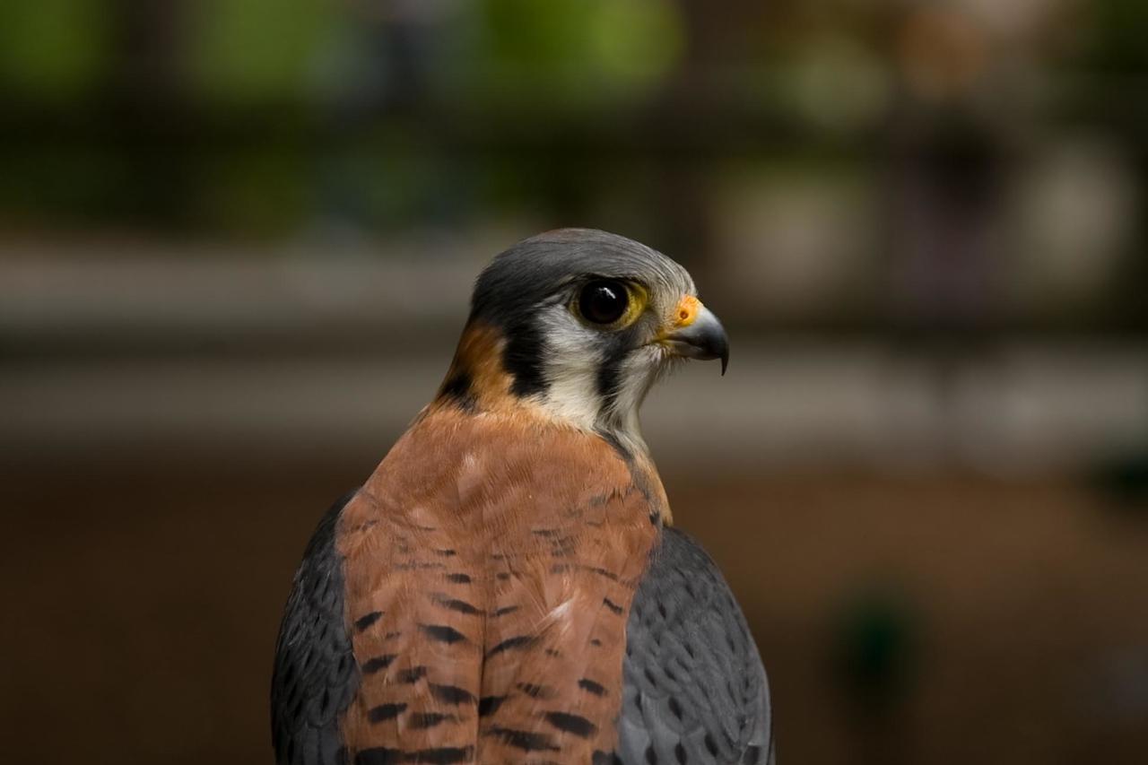 Common Kestrel (Falco tinnunculus)