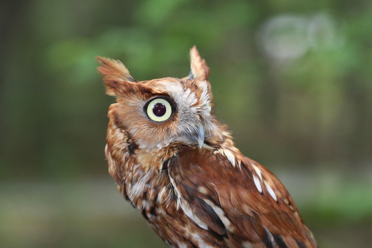 The Great horned owl, or Bubo Virginianus