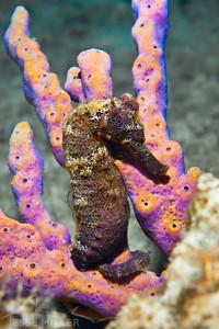 Seahorse - Shore Dive in Cozumel, Mexico
