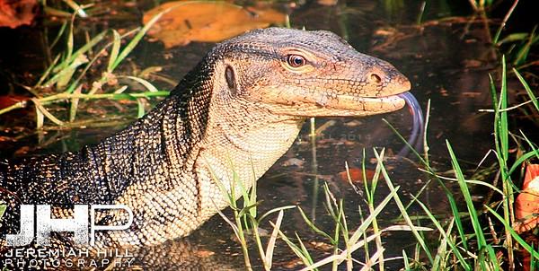 """Monitor Lizard In Swamp"", Perhentian Islands, Malaysia, 2007 Print ML-022"