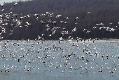 Snow geese in central Pennsylvania