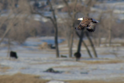 Bald eagle aloft east of Hulett, Wyoming, along the Belle Fourche River