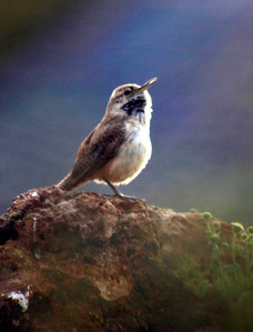 A songbird along Canyon Lake near Mesa, Arizona.