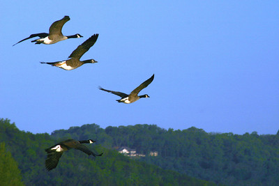 Geese aloft on a lake near Branson, Missouri