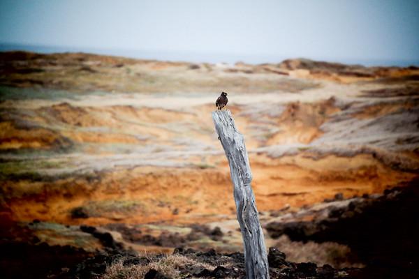 WILD BIRD ON WOOD - KONA, HAWAII