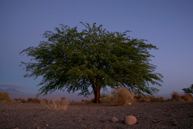 Tree in the Atacama Desert near an oasis.