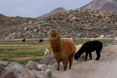 Alpaca- Isluga Volcano (5,550 m) in the background.  Near the border of Chile & Bolivia.