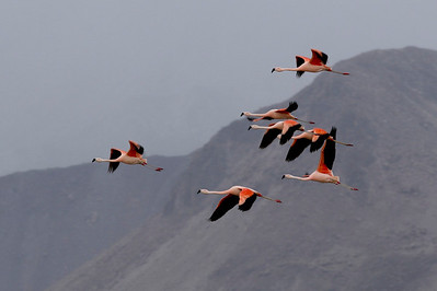 Flamingos at Lauca National Park, Chile.