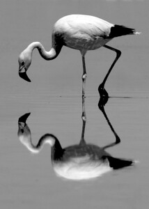 Flamingo at Salar de Atacama. (Salt Lake in the Atacama Desert)