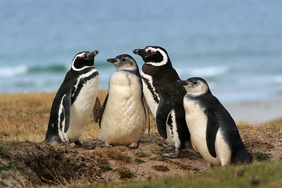 The Magellan Family-  Magellanic Penguin Family Portrait