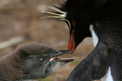 Rockhopper Parent and Chick