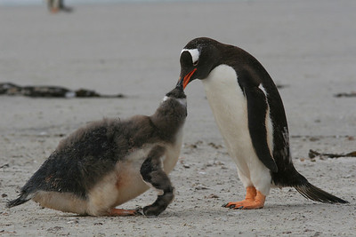Dinner Time at the Gentoo Colony!