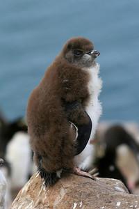 Young Rockhopper Penguin