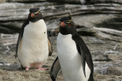 "Rockhopper Penguins at ""The Neck"" on Saunders Island.  These fearless penguins often approach humans and are very inquisitive...  especially the young ones."