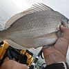 """Scup/Porgy.  We call these large ones a """"scupzilla"""".   They fight hard for their size,but are a pest since the target fish are striped bass."""