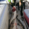 First day spear fishing was a great success, several in the 40 lb range.  Photo from Ken