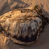 dead see turtle