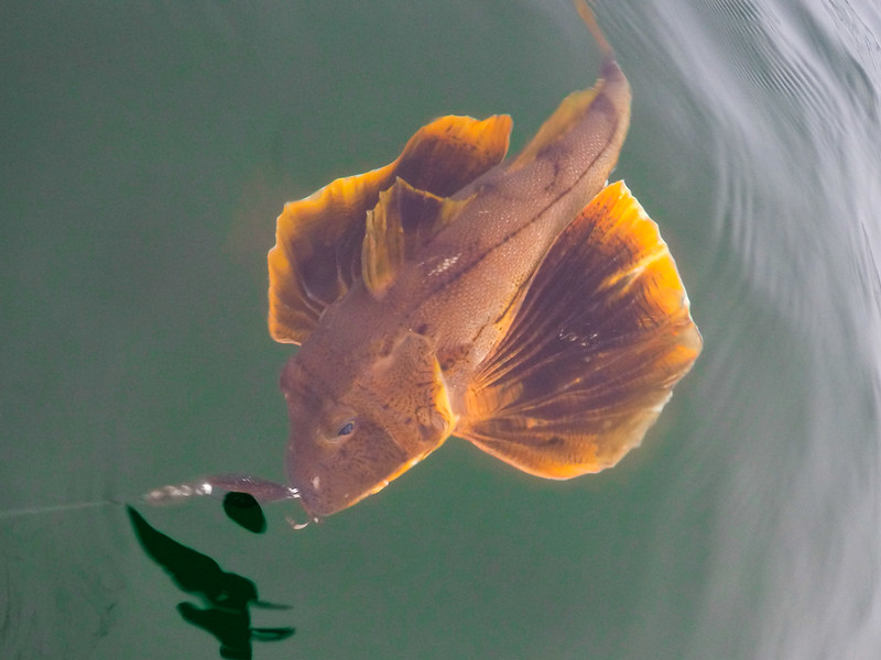 Sea robin caught in coast guard channel