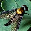 Golden Backed Snipe Fly