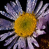 aster with dew