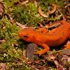 red eft newt