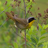 male common yellow-throat.