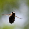 carpenter bee in flight.