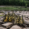 "Male tiger swallowtails ""Puddling"".  they are gathering trace minerals needed for reproduction."