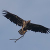 Juvenile Eagle.  He knows he is supposed to do something with sticks, but did not read the entire memo.