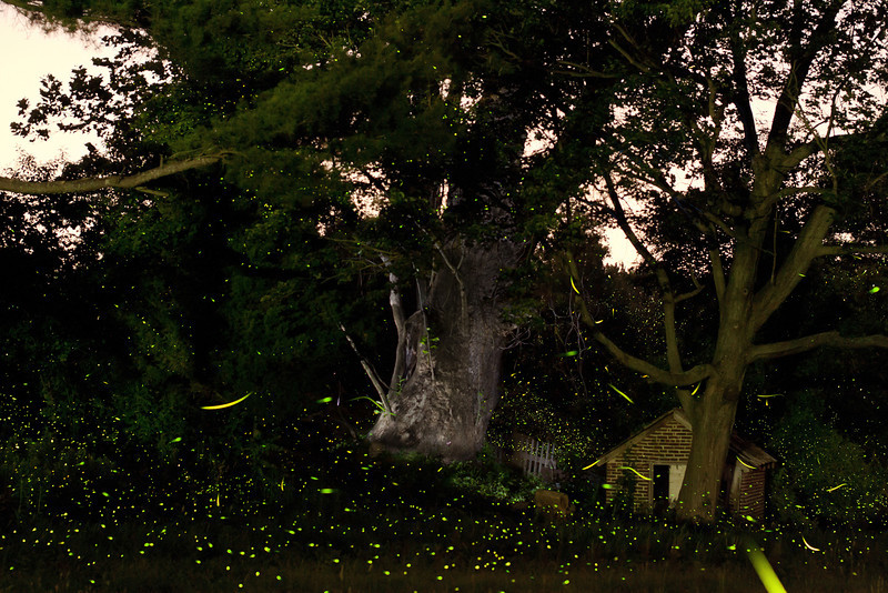 third largest sycamore in New Jersey is on Specca Farms.  I took this multip exposure time laps at around 9:30 at night on June 21st.  this is about a 10 min exposure.