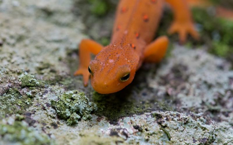 salamander on rock