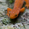 salamander on rock