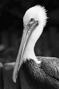 Pelican- Vogelpark Walsrode, Germany